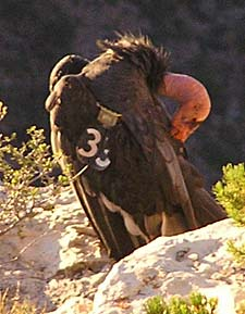 California Condor 33